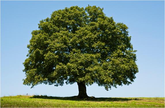 naturikke drzewo
